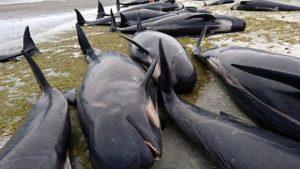 ავსტრალიის სანაპიროზე 150-ზე მეტი დელფინი გამოირიყა (ვიდეო)